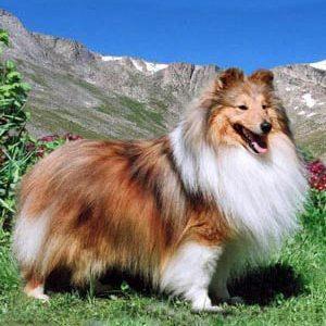 Шелті (шетландская вівчарка): опис породи та характеристика