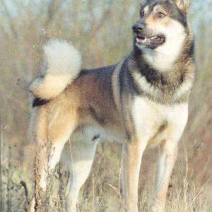 Східно-сибірська лайка: опис породи