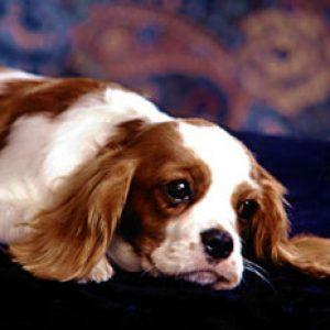 Піометра (гнійний ендометрит) у собак: симптоми і лікування