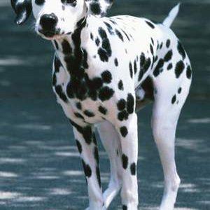 Далматинець: опис породи та його характеристика