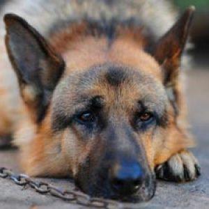 Лептоспіроз собак: симптоми і лікування