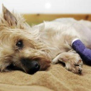 Пироплазмоз у собак: опис хвороби і симптоми