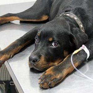 Ентерит: симптоми і лікування у собак