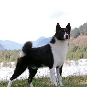 Карельський ведмежий собака: опис породи