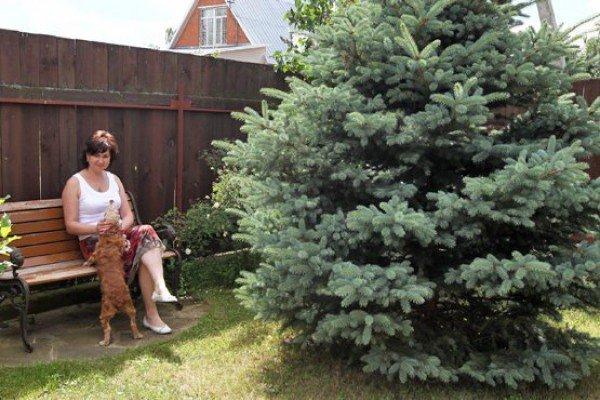 Сажают ли елки дачи 155