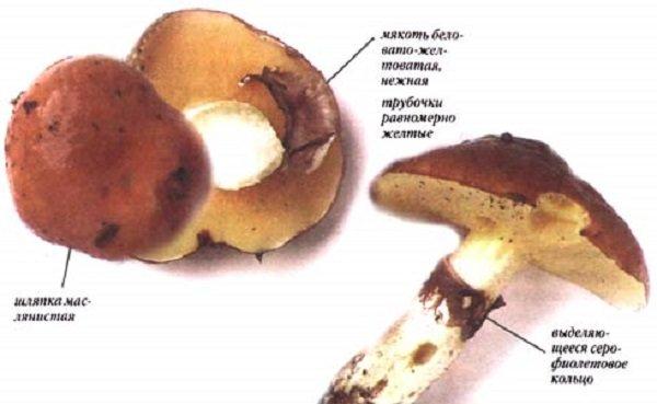 Гриби маслюки: фото та опис їстівних видів, відмінні ознаки помилкових маслюків