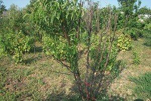 Персик воронежский кустовой как сажать