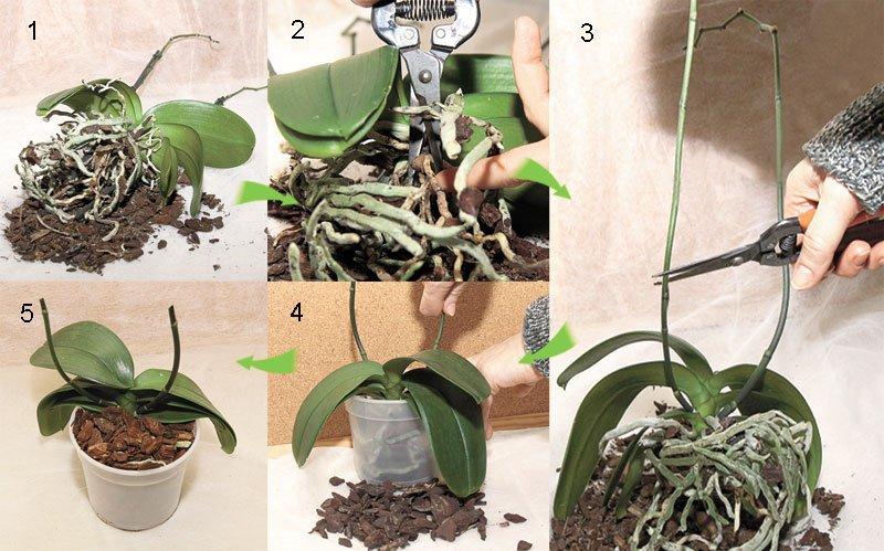 Поэтапное выращивание орхидей 11