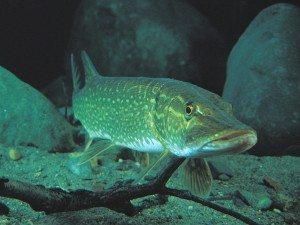 На сонник гачку риба