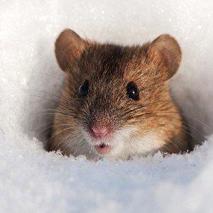 Сонник миші.
