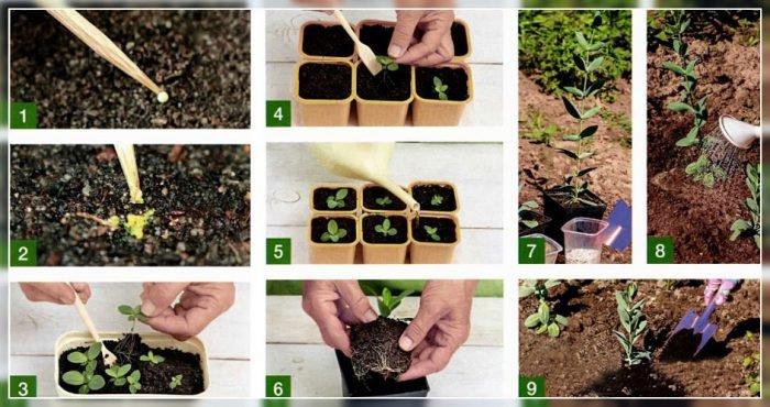 Эустома луковичная выращивание и уход 76