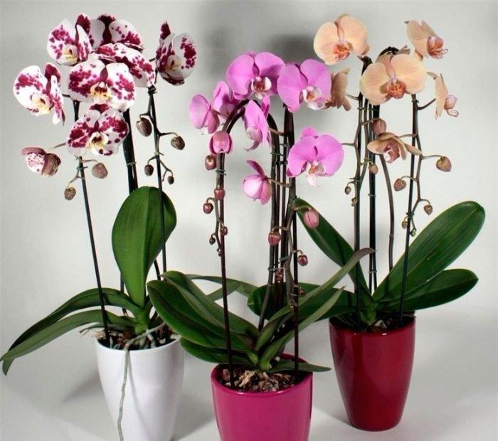 Орхідея фаленопсис – догляд в домашніх умовах 739ee13b422e3