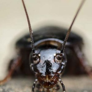 Чорні таргани в квартирі як позбутися паразитів назавжди?