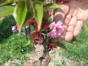 Сакура выращивание и уход в домашних условиях 67