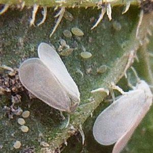 Білокрилка в теплиці: як позбутися шкідника?