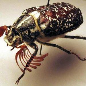 Мармуровий хрущ: якої шкоди для садових культур