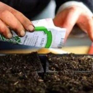 Заготівля насіння перцю в домашніх умовах — як правильно підготувати до розсаді