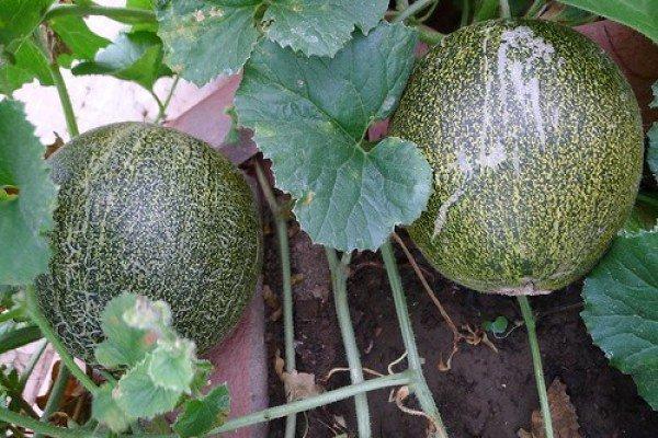 Сорта дыни для выращивания в сибири 32