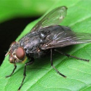 Скільки живуть мухи та інші цікаві факти
