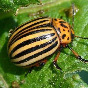 Колорадський жук – цікаві факти