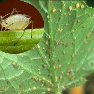 Як боротися з попелиць на огірках – пастка, відвар або хімія?