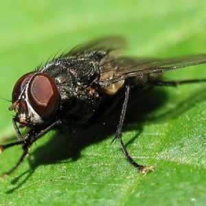Чим небезпечні мухи: перелік поширених захворювань