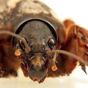 Комаха капустянка: фото та опис