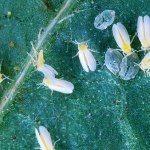 Як позбутися від білокрилки на томатах в теплиці