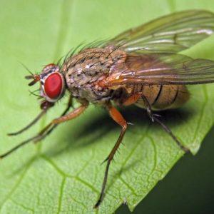Капустяна муха – встигни випередити шкідника