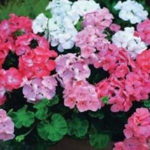 Сонник Герань: червона, рожева квітуча в горщику бачити уві сні
