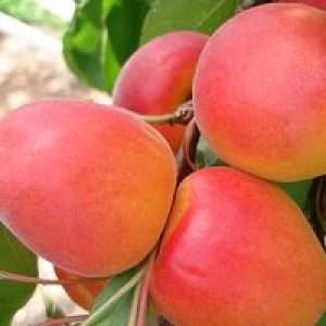 Персикова зливу — красивий швидкорослий сорт з дуже смачними і корисними плодами