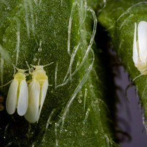 Як боротися з білокрилка на кімнатних рослинах