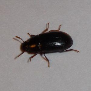 Деревне жук: ознаки появи, боротьба і профілактика