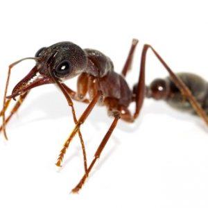 Ніж кусає мураха