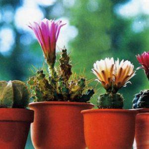 Як доглядати за кактусами в домашніх умовах: полив, розмноження і пересадка