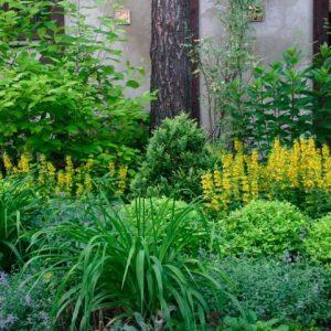 Тіньолюбні чагарники для саду багаторічні, фото та назви