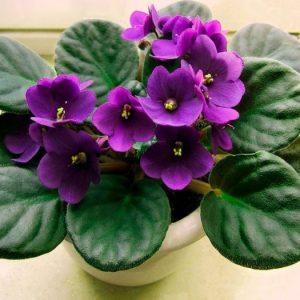 Фіалки: догляд та розмноження в домашніх умовах, пересадка і підживлення кімнатної квітки фіалки