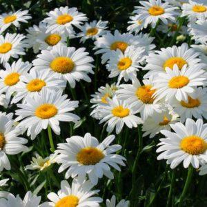Ромашки: посадка і догляд у відкритому грунті, види і сорти ромашок з фото і назвами
