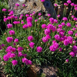Квітка армерія: посадка і догляд у відкритому грунті, вирощування з насіння
