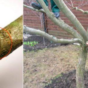 Кращі засоби для весняної обробки яблунь від шкідників і хвороб