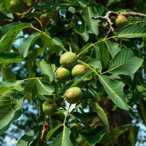 Волоський горіх: посадка й догляд, технологія вирощування, обрізка і хвороби, сорти з фото