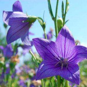 Квіти дзвіночки: посадка і догляд відкритому грунті, види і сорти дзвіночків з фото і назвами