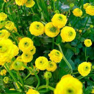 Жовтець: посадка і догляд у відкритому грунті, вирощування з насіння, види і сорти з фото
