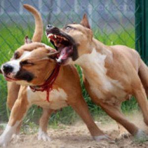 Сонник Бійка Собак у сні бачити до чого сниться?