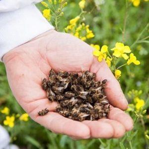 Бджолиний підмор: лікувальні властивості, користь і шкоду для чоловіків і жінок, сфери застосування, рецепти настоянки на спирту, горілки, самогон та відгуки про продукт