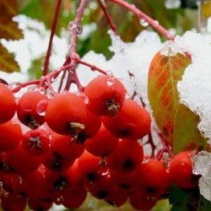 Горобинова настоянка на самогоні: рецепти приготування в домашніх умовах на червоній ягоді