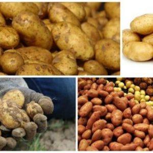 Самогон з картоплі в домашніх умовах: прості рецепти приготування браги і спирту з картоплі