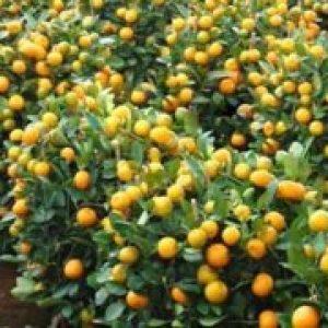 Абхазькі мандарини як відрізнити, сорти і різновиди мандаринів
