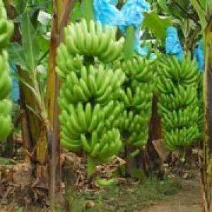 Як і де ростуть банани, опис бананового дерева, види фрукта