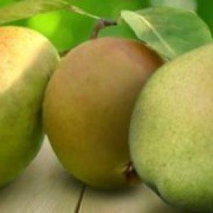 Сорт груші Просто Марія, опис, гідності, особливості догляду